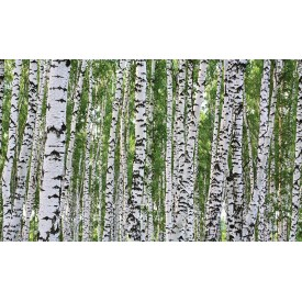Birch Trees Mural